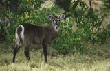 Female Waterbuck (Kobus ellipsiprymnus) Royalty Free Stock Photo