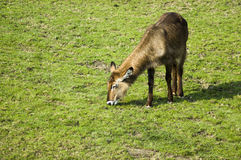 Female waterbuck. Waterbuck Kobus ellipsiprymnus eating grass Royalty Free Stock Photography