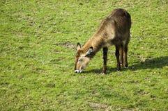 Female waterbuck. Waterbuck Kobus ellipsiprymnus eating grass royalty free stock photography