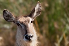 Female Waterbuck (Kobus ellipsiprymnus). Waterbuck (Kobus ellipsiprymnus) are found in savanna areas near water. Despite its name, the waterbuck does not spend Royalty Free Stock Photos