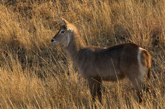 Female waterbuck (Kobus ellipsiprymnus) Stock Images
