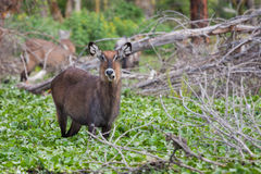 Female Waterbuck looking up Stock Photos
