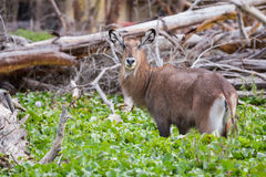 Female Waterbuck looking up Royalty Free Stock Photography