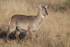 Female waterbuck Stock Photography