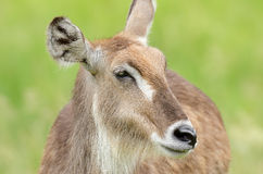 Female Waterbuck Portrait Royalty Free Stock Photo