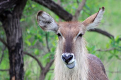 Female, Waterbuck shows blue tongue Royalty Free Stock Photography