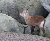 Female waterbuck Royalty Free Stock Photo