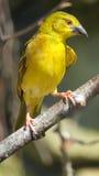 Female weaverbird Royalty Free Stock Photos