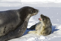 Female Weddell seal and her pup Stock Photo