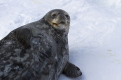 Female Weddell seal lying in the snow winter. Day Stock Image