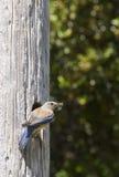 Female Western Bluebird Royalty Free Stock Photo