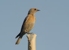 Female Western Bluebird. A female Western Bluebird perched on a metal pole Royalty Free Stock Photography