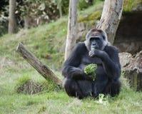 Female Western Gorila. Female Western Gorilla eating vegetables stock photography