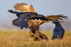 Female Western Marsh Harrier fierce atttack on Common Raven with stretched claws and spreaded wings. Female Western Marsh Harrier atttacks and tries to catch a stock image