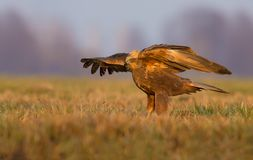 Female Western Marsh Harrier getting ready to fly in meadow royalty free stock photos