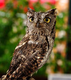 Female Western Screech Owl Stock Photo