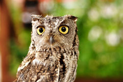 Female Western Screech Owl Royalty Free Stock Images