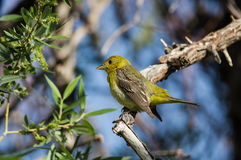 Female Western Tanager Bird Stock Images