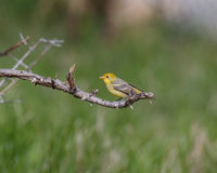 Female Western Tanager Stock Photos