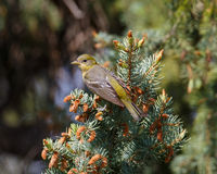 Female Western Tanager at rest Stock Image