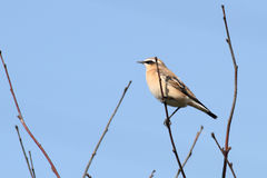 Female Wheatear Royalty Free Stock Photos