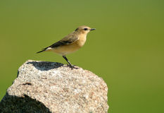 Female wheatear Royalty Free Stock Photography