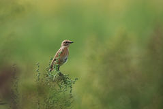 Female whinchat. In a meadow, green background Royalty Free Stock Photos