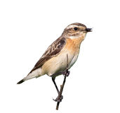 Female whinchat with prey in its beak Stock Image