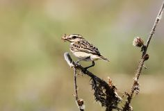 Close up view on a female whinchat Saxicola rubetra with a grasshoper in beak. A female whinchat Saxicola rubetra with a grasshoper in beak Royalty Free Stock Image