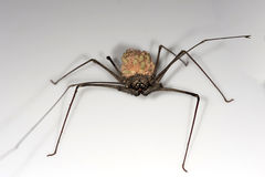 Female whip spider. With offsprings on the back, Tambopata National Reserve, Madre de Dios, Peru Stock Photography