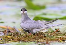 Close up photo of Female whiskered tern on the nest with eggs. Female whiskered tern on the nest with eggs Stock Photography