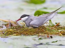 Female whiskered tern on the nest with eggs. Close up view Stock Photography