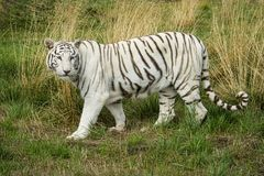 Female White Albino tiger in captivity stock image
