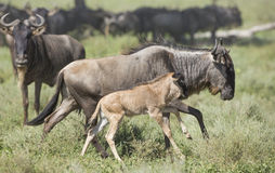 Female White Bearded Wildebeest running with its new born calf, Stock Photography