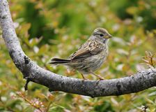 Female White-Capped Sparrow Royalty Free Stock Image