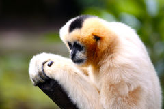 Female White-Cheeked Gibbon. With Shallow Depth of Field Royalty Free Stock Photo