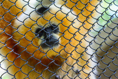 Female White-cheeked gibbon (Nomascus leucogenys). Looks out of the enclosure at the zoo Royalty Free Stock Photo