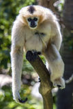 A female White-cheeked gibbon sits on a tree branch in its enclosure at Adelaide Zoo in South Australia in Australia in Australia Stock Photo