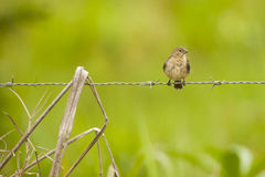 Female White-Collared Seedeater Perched on Barbed Wire Stock Photo