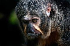 Female White Faced Saki. A female white faced saki monkey Stock Images