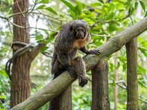 Female white-faced saki sits on branch. Close up Royalty Free Stock Photos