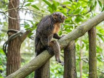 Female white-faced saki sits on branch. Close up Stock Photography