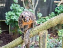 Female white-faced saki sits on branch. Close up Stock Photo
