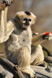 Female white gibbon eating red fruit. Or vegetable in tree branches Royalty Free Stock Photos