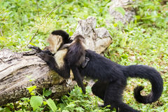 Female white-headed capuchin with baby - Cebus capucinus. Female white-headed capuchin with newborn - Cebus capucinus - also known as the white-faced capuchin or Royalty Free Stock Images