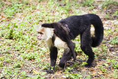 Female white-headed capuchin with baby - Cebus capucinus. Female white-headed capuchin with newborn - Cebus capucinus - also known as the white-faced capuchin or Royalty Free Stock Photo