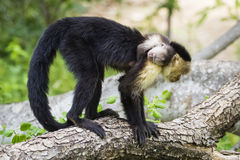 Female white-headed capuchin with baby - Cebus capucinus. Female white-headed capuchin with newborn - Cebus capucinus - also known as the white-faced capuchin or Stock Photography