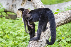 Female white-headed capuchin with baby - Cebus capucinus. Female white-headed capuchin with newborn - Cebus capucinus - also known as the white-faced capuchin or Royalty Free Stock Photos