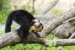 Female white-headed capuchin with baby - Cebus capucinus. Female white-headed capuchin with newborn - Cebus capucinus - also known as the white-faced capuchin or Stock Images