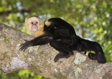 Female white-headed capuchin with baby on her back. In the tropical forest, Costa Rica royalty free stock image